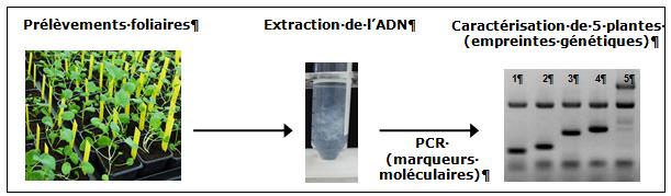 Figure 1 : Technique de production d'empreintes génétiques à partir de jeunes plants