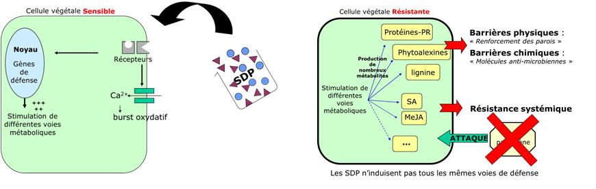 Activation du métabolisme de la plante par application de SDP