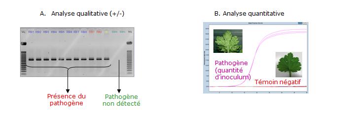 Figure 1 : Analyses qualitatives (A) et quantitatives (B) pour la détection des agents pathogènes des plantes