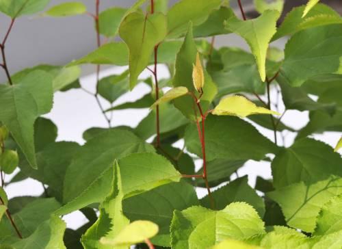 Jeunes plants de Prunus