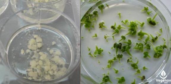 Fig.1 : cals embryonnaires d'orge et embryons de colza âgés d'environ 1 mois.