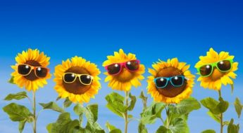 Sunflowers with sunglasses on blue sky background