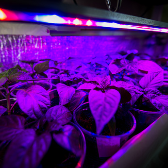 Cultivation of fresh herbs and pepper with red and blue leds. Using special LED equipment in rooms without light and in greenhouses. LEDs with a wavelength of 630nm, 660nm, 440nm, 445nm, 430nm,d blue leds. The basil is grown without daylight, the leds provide light that plants need to grow.